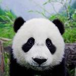 suited_panda